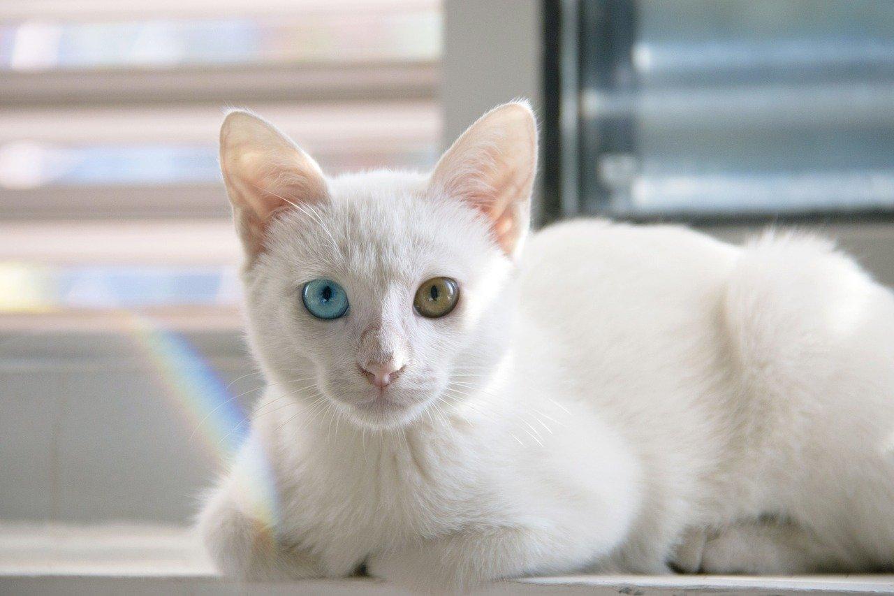 左右の目の色が違う猫