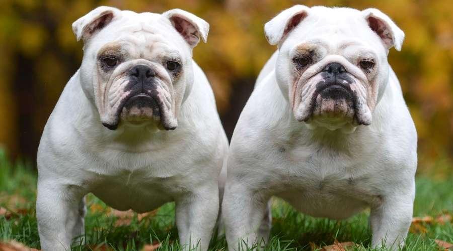顔が少し違う2匹の犬がいる